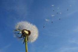 close-up-dandelion-dandelion-seeds-39669