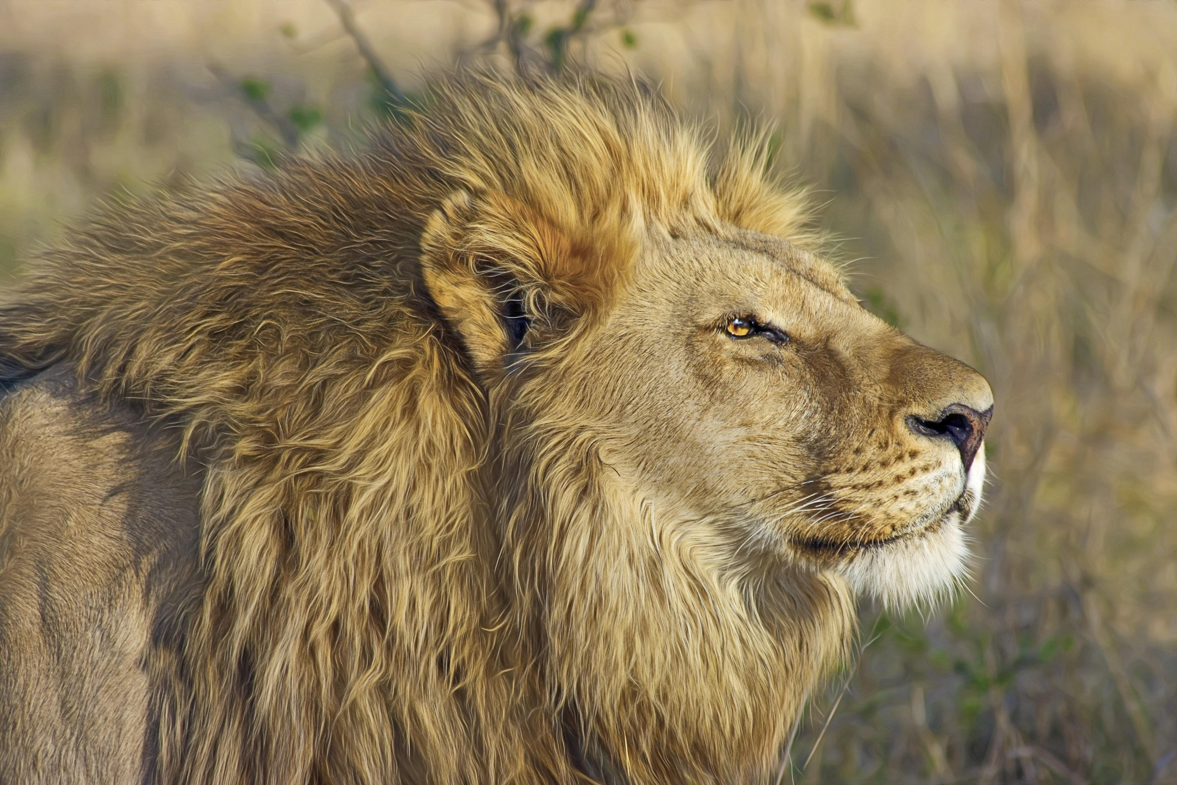 big-cat-blur-carnivore-46795